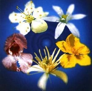 floriterapia fiori di bach